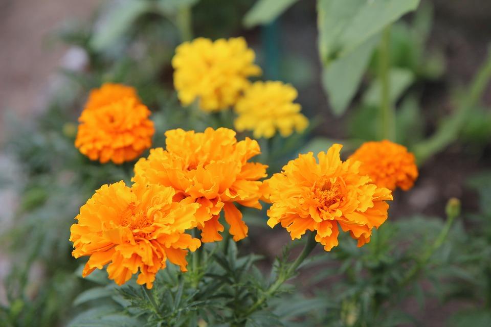 Free photo rose of india yellow golden yellow yellow flowers max pixel rose of india golden yellow yellow flowers yellow mightylinksfo