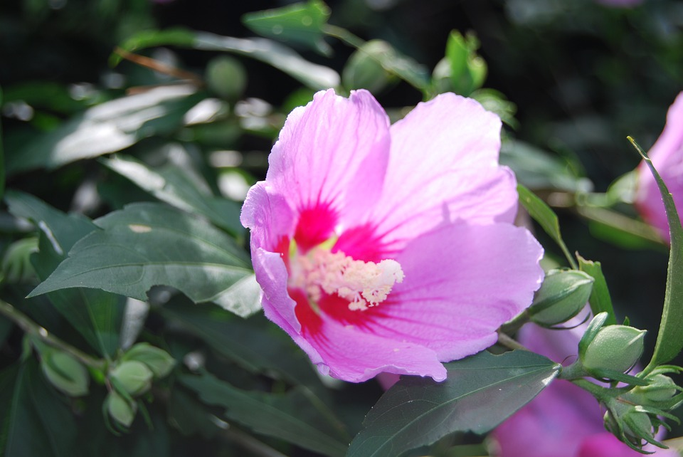 Rose Of Sharon, Flowers, Plants