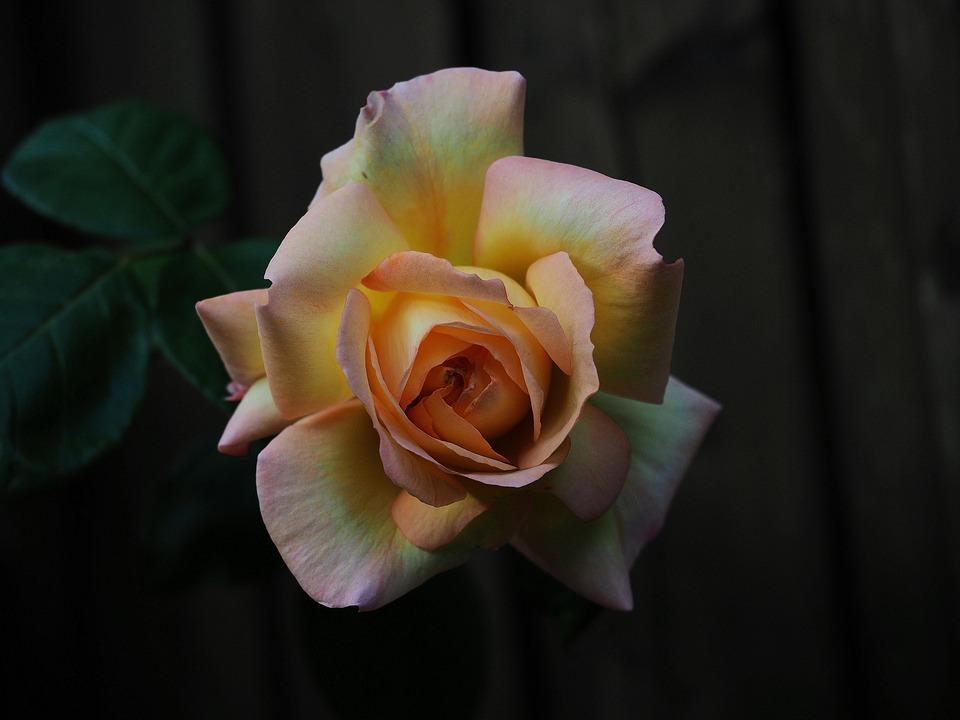 Rose, Orange, Weis, Yellow, Flower, Romantic, Fragrance
