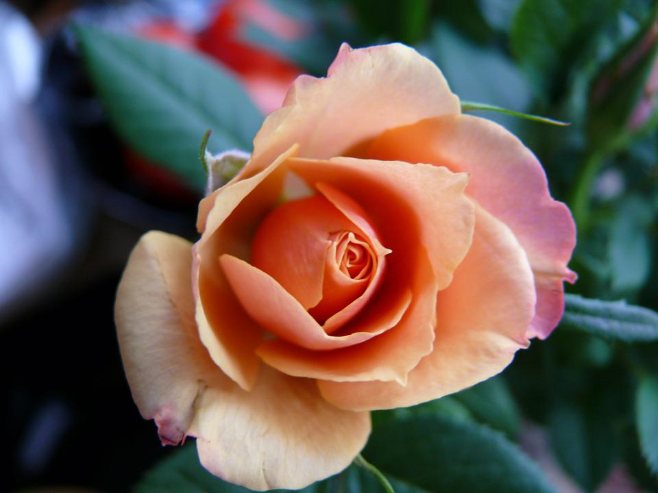 Rose, Orange, Petals, Flora, Plant, Love, Open Rose