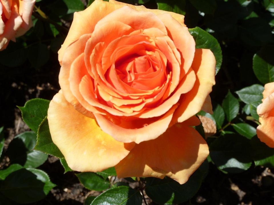 Rose, Orange, Rose Bloom, Flowers, Orange Rose, Petals