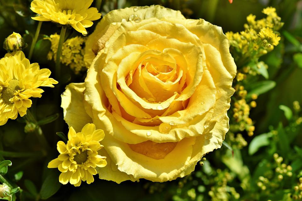 Rose, Rose Bloom, Pale Yellow Rose, Blossom, Bloom