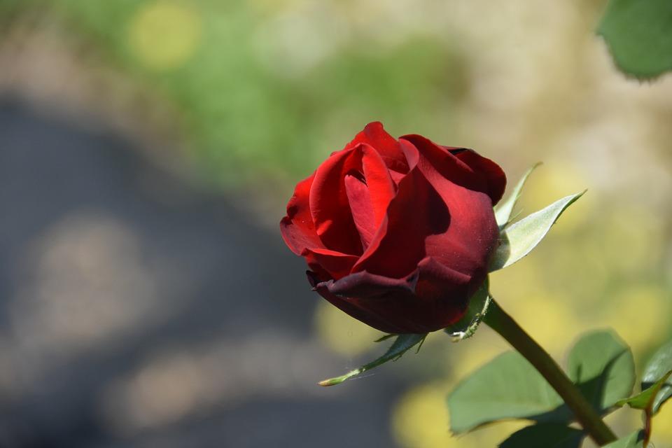 Rose, Maypole Queen, Garden, Flowering Time, Park