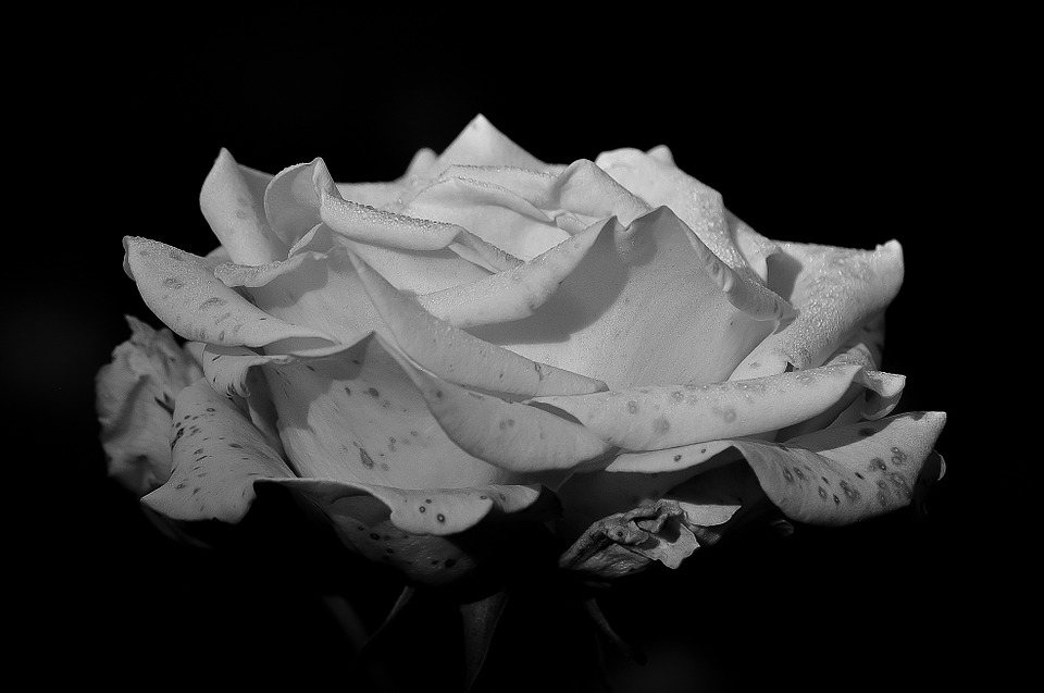 Rose, Black And White, Flower, Beauty, Romantic, Petals