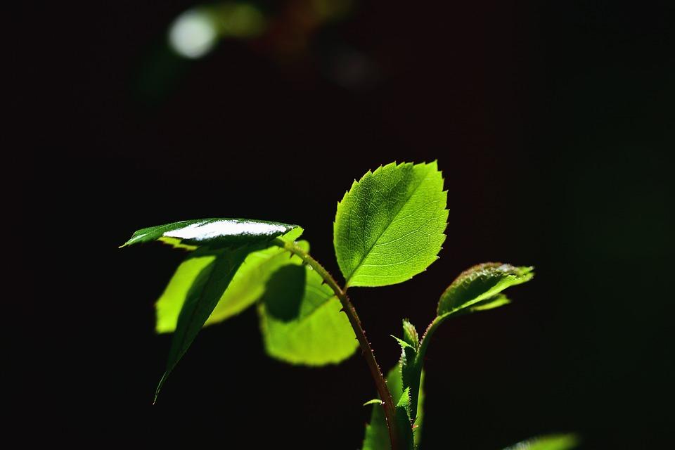 Rosenblatt, Leaf, Rose Petals, Plant, Close Up, Nature