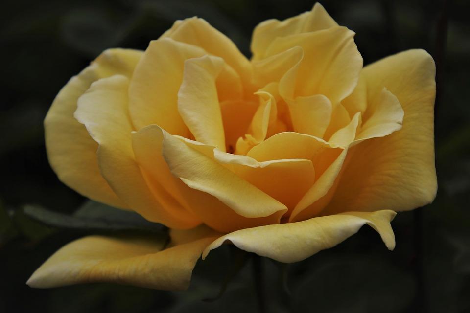 Flower, Petals, Rose