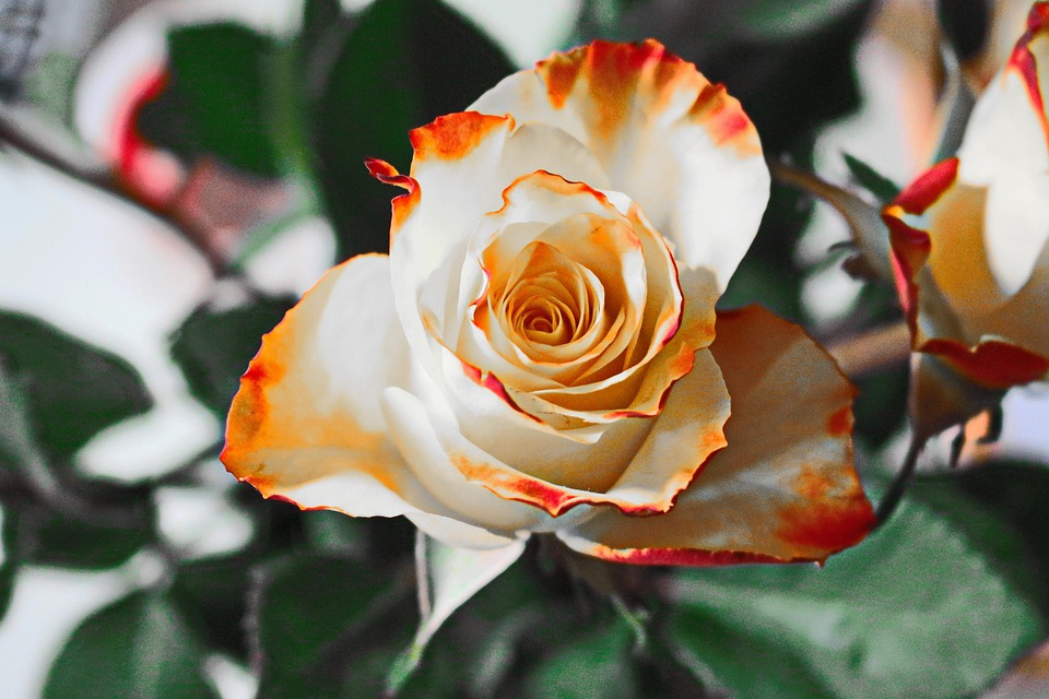 Flower, Rose, Petals, Bloom, Blossom, Flowering Plant