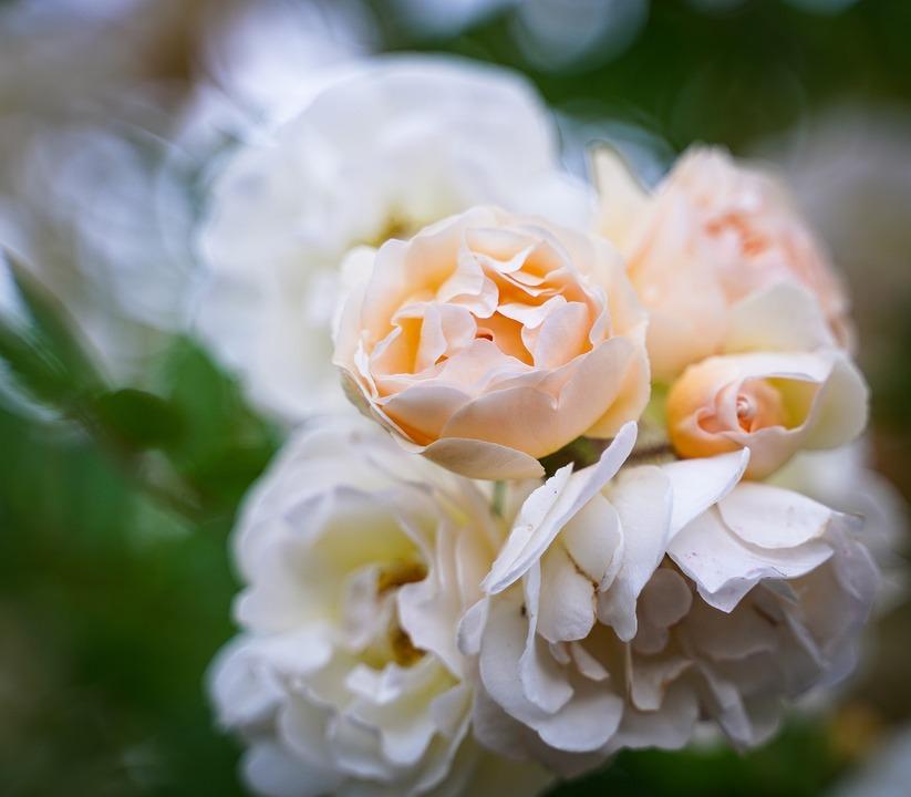Rosebush, Rose Petals, Flowers, Rose Flower, Plant