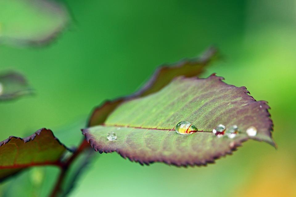 Raindrop, After The Rain, Rose Petals, Leaves, Garden