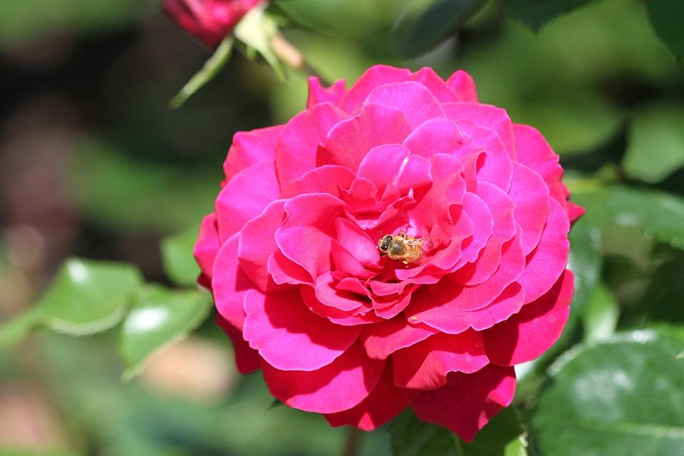 Rose, Pink, Rose Petals, Flower, Nature, Leaf, Plant