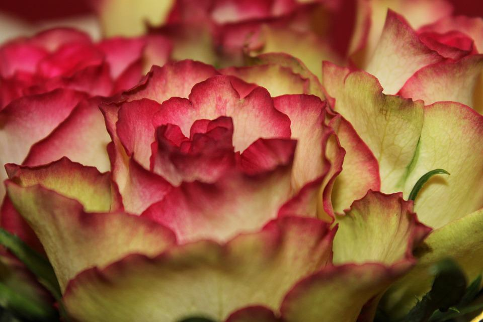 Flower, Rose, Pink, Petal, Pink Rose, Flowers, Plant