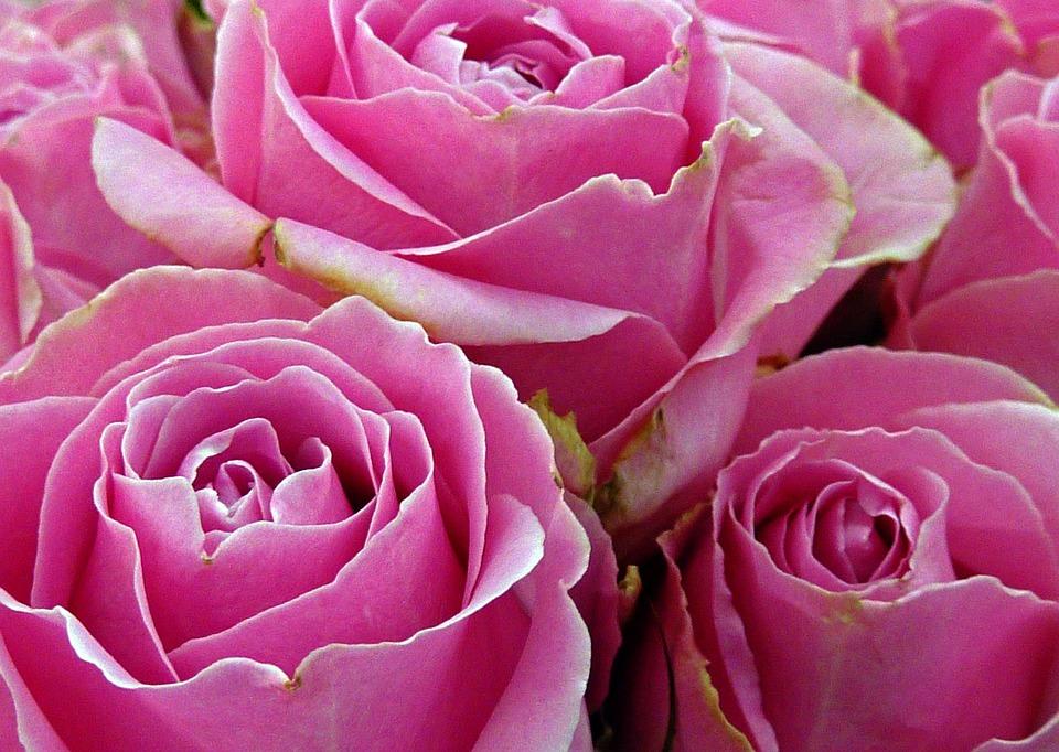Rose, Flower, Rose Blooms, Pink Rose, Blossom, Bloom
