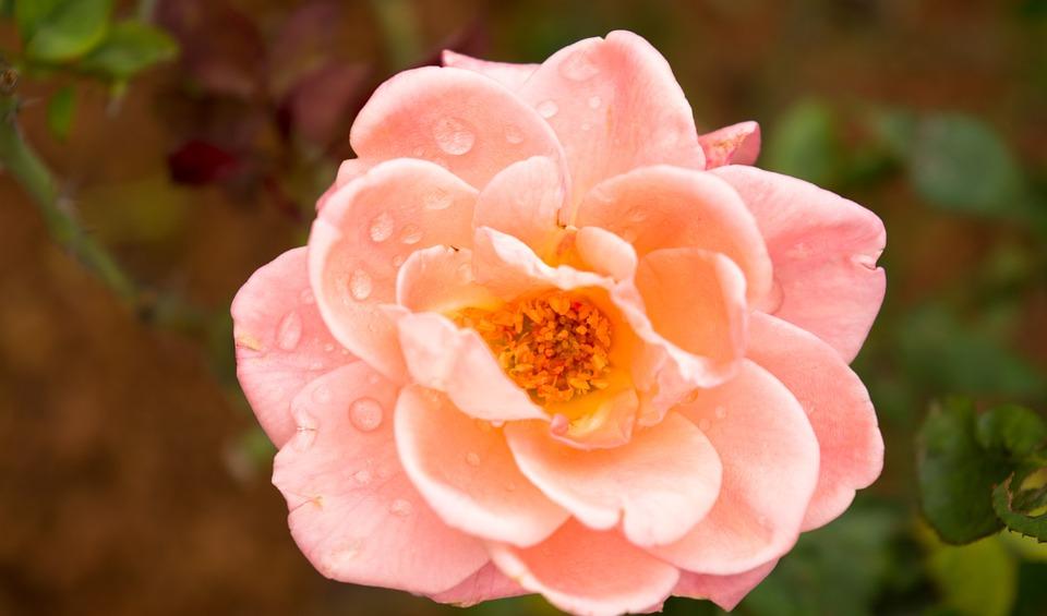 Pink Rose, Flower, Botany, Rose, Water Droplets