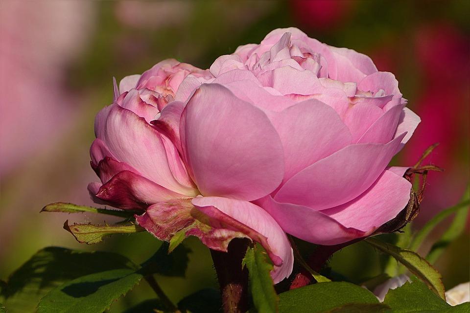 Flower, Rose, Pink, Macro, Noble, Garden, Summer