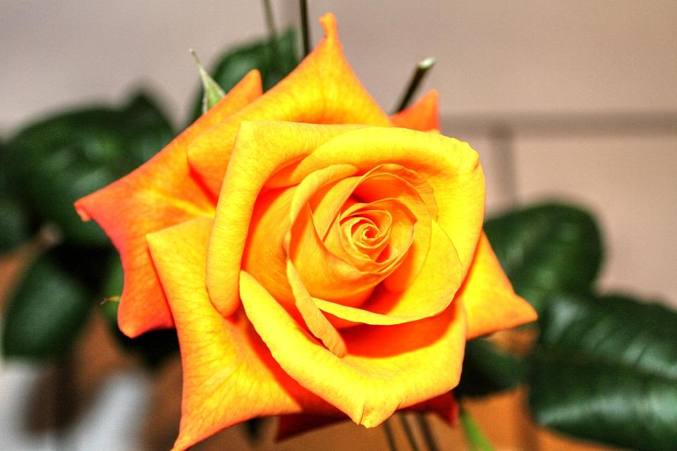 Rose, Roses, Flowers, Plant, Rose Bloom, Beauty, Love