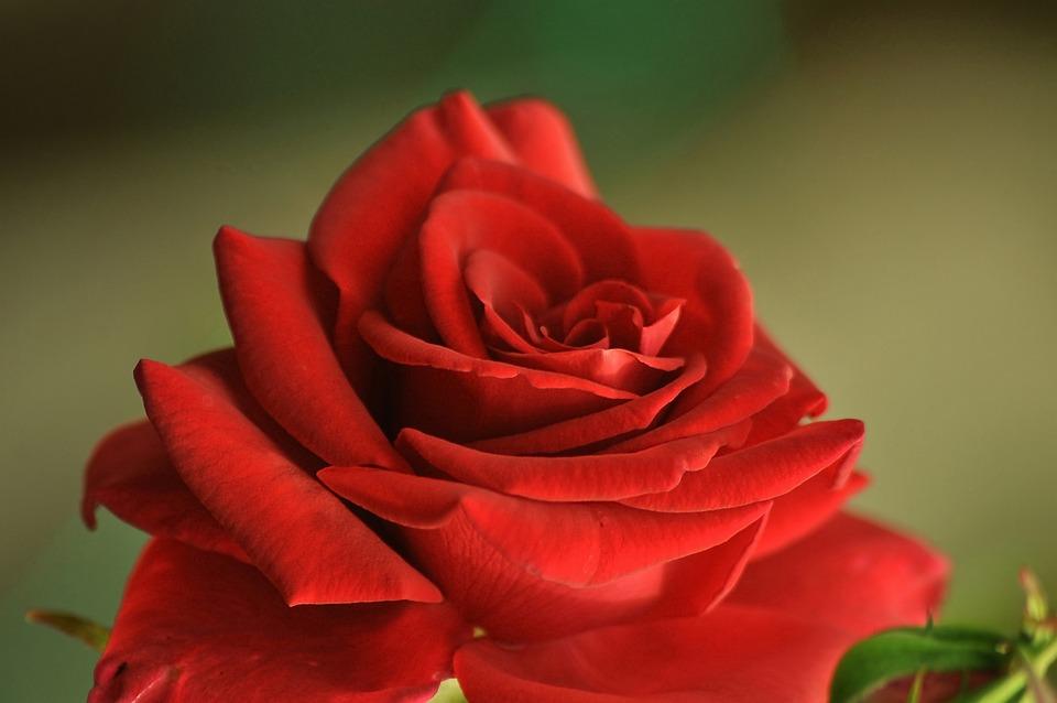 Rose, Macro, Red, Petals, Bloom, Beautiful, Plant