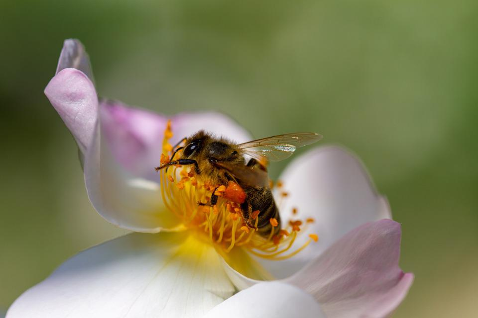 Bee, Insect, Pollen, Nature, Rose, Climbing Rose