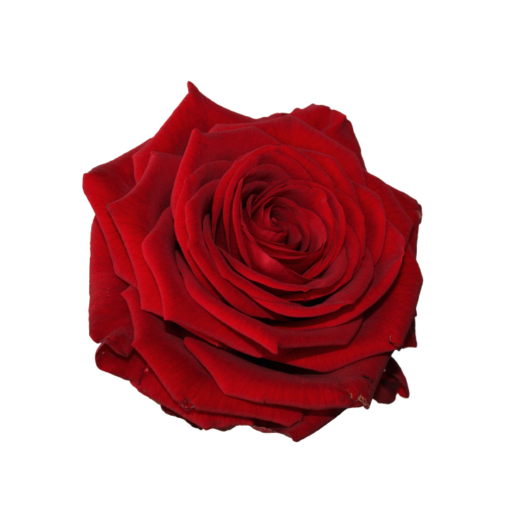 Flower, Rose, Head, Red, Bloom, Blossom, Botanical