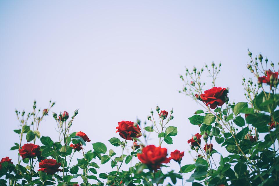 Rose, Flower, Beauty, Rose Garden, Garden, Red