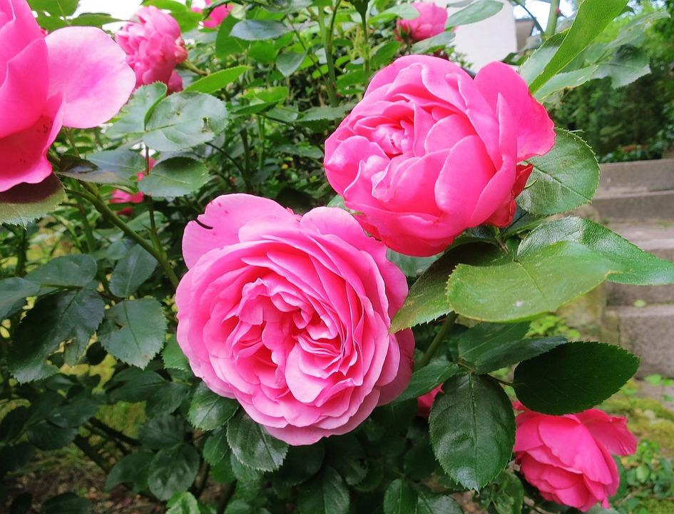 Rose, Double Flower, Lush, Garden, Red, Macro