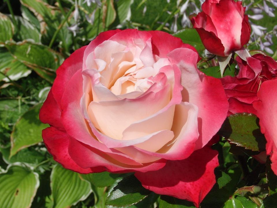 Rose, Blossom, Bloom, Flower, Plant, Red, Nature