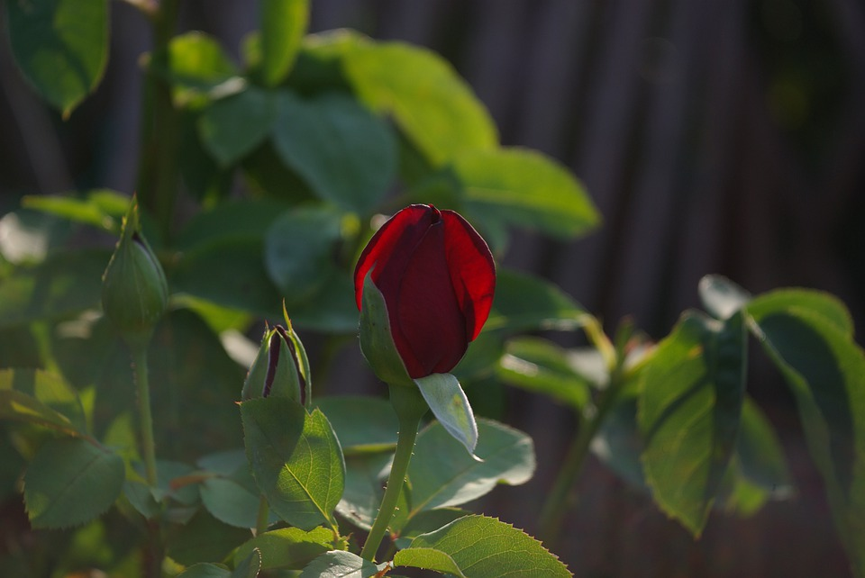 Rose, Flower, Blooms At, Romantic, Beauty, Red, Scent