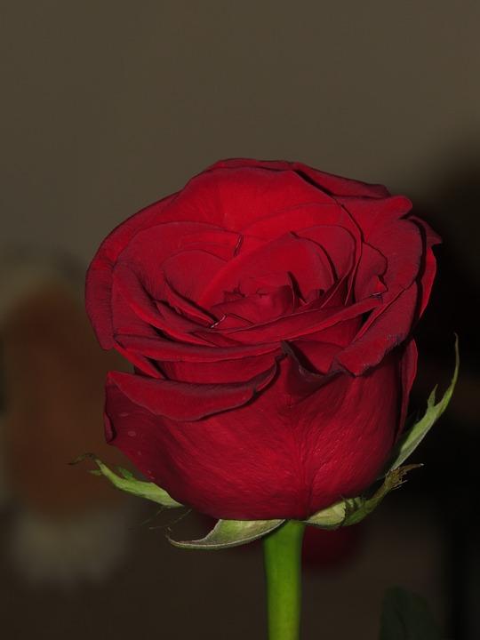 Rose, Flower, Red Rose, A Single Rose