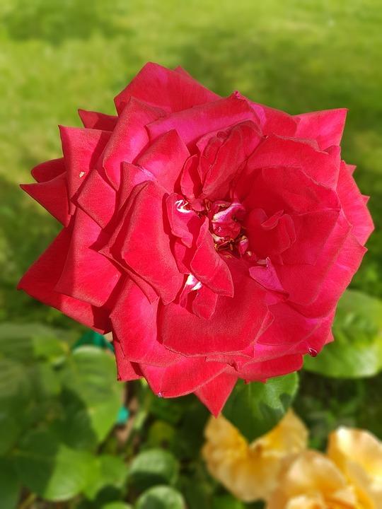 Rose, Red Rose, Flowers, Summer