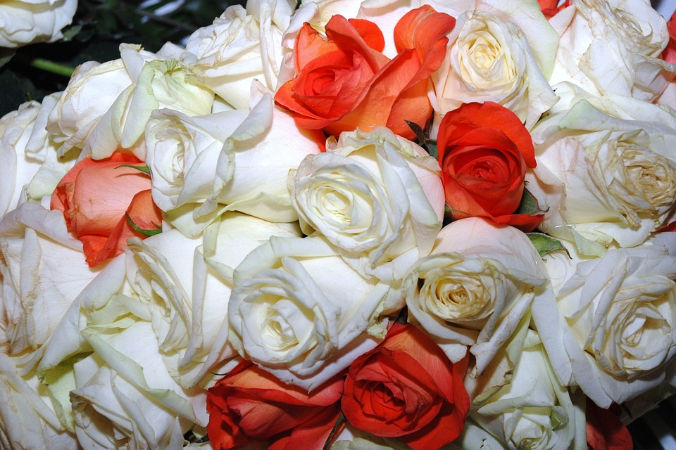 Roses, Wild, Rose, Red, White, Color, Red-white