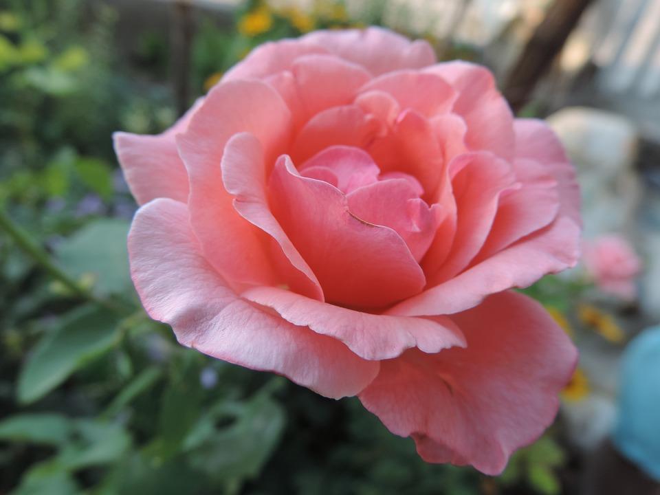 Rose, Pink, Nature, Flower, Romantic, Love, Valentine