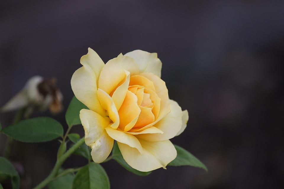 Rose, Rose Petals, Petals, Romantic, Blossom, Bloom