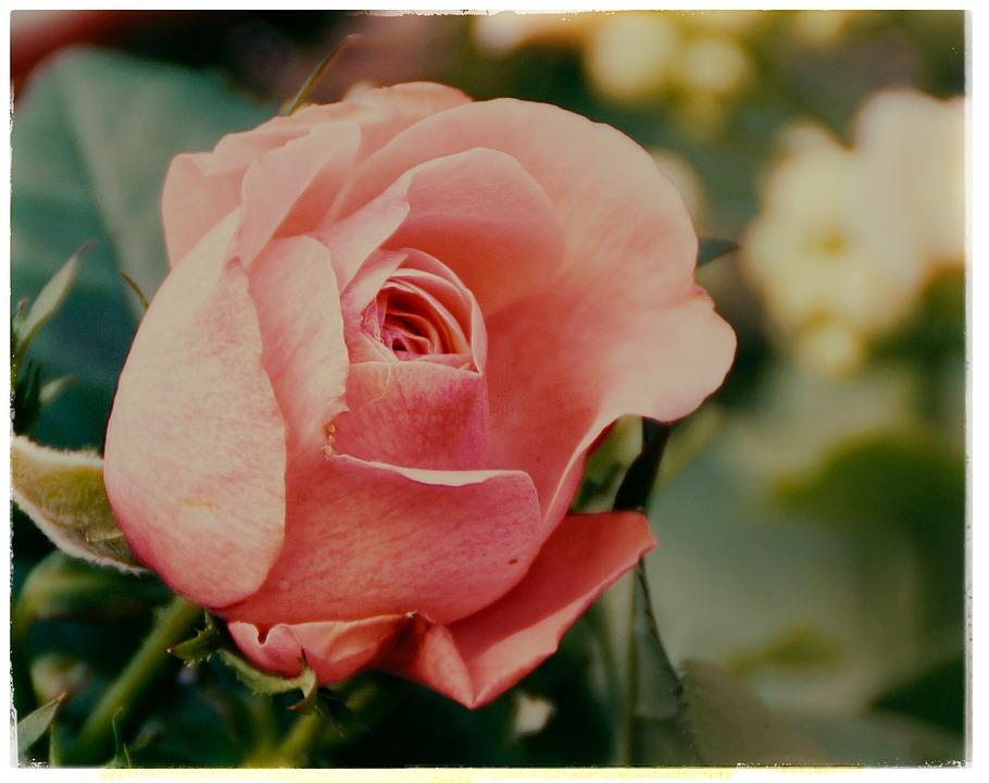 Rose, Red Rose, Salmon-red Rose, Rose Bloom, Flower
