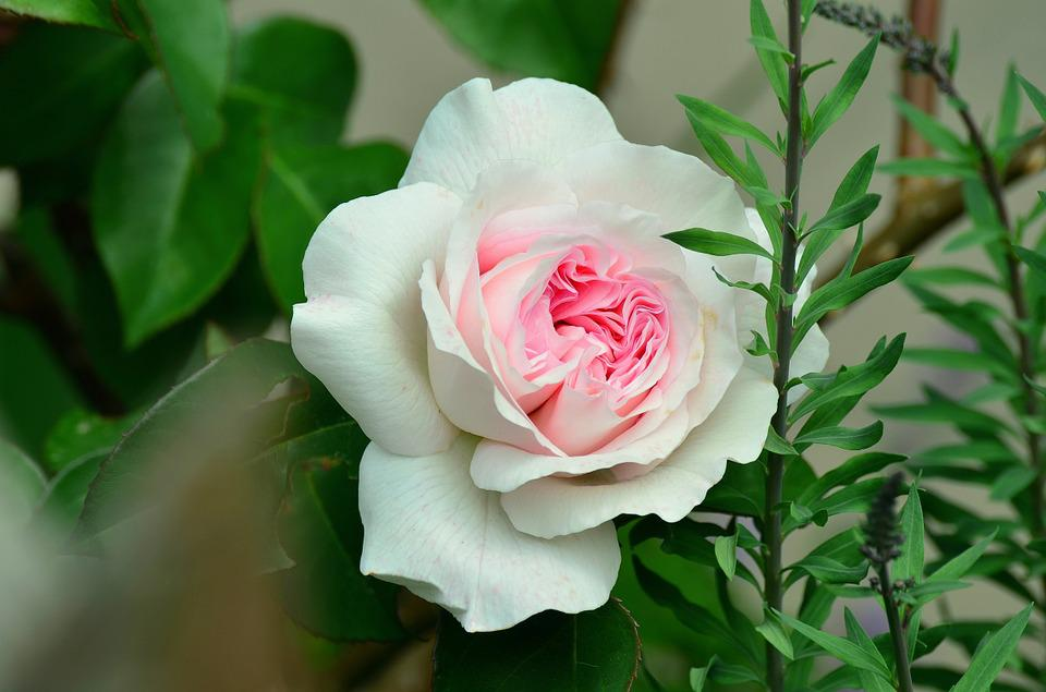 Rose, White Rose, Rose Bloom, Tender, Pink