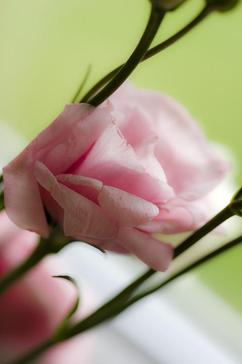 Rose, Pink, Leaf, Flower, Blossom, Bloom, Rose Rose
