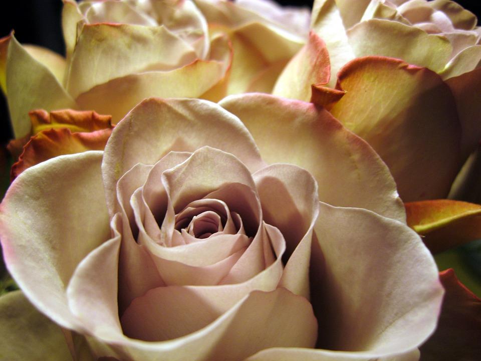 Rose, Rose Bloom, Close, Flower, Rose Petals, Beautiful