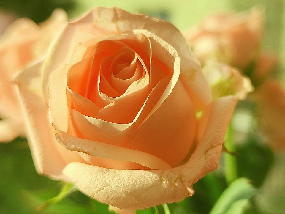 Rose, Flower, Plant, Petals, Rose Salmon, Bloom
