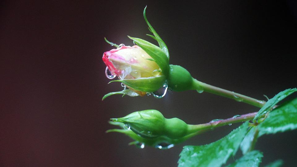 Rose, A Rainy Day, Shower, Flower Garden, Raindrops