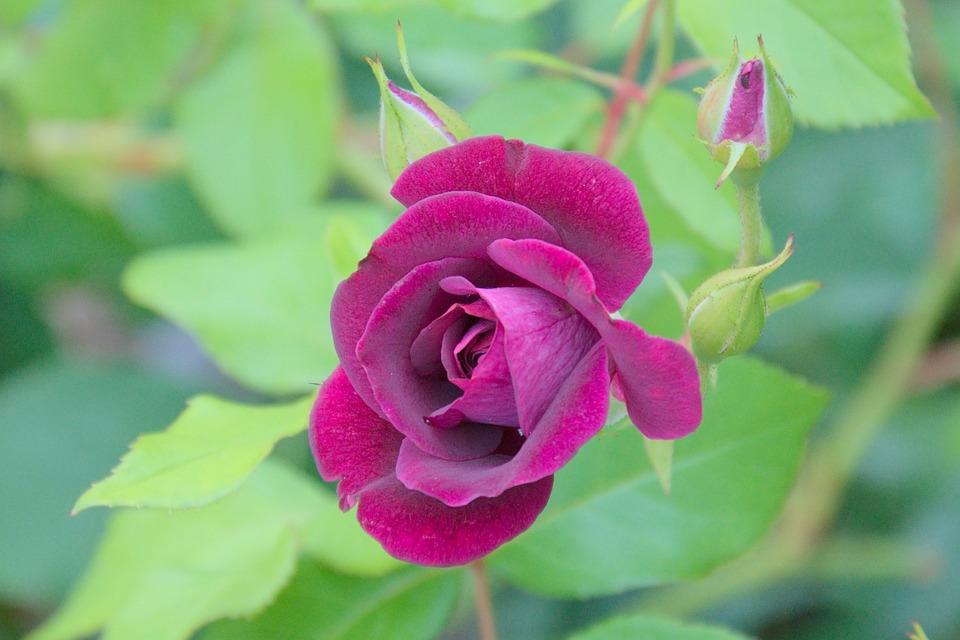 Rose, Green, Purple, Single