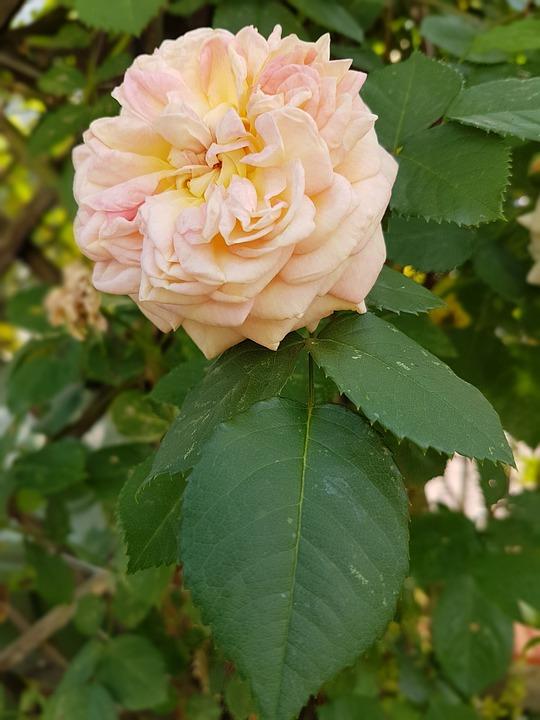 Rose, Flowers, Summer