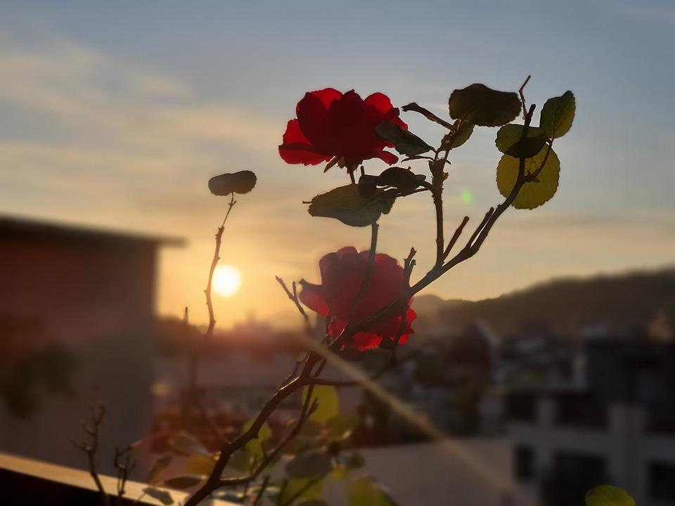 Sunset, Rose, Sun