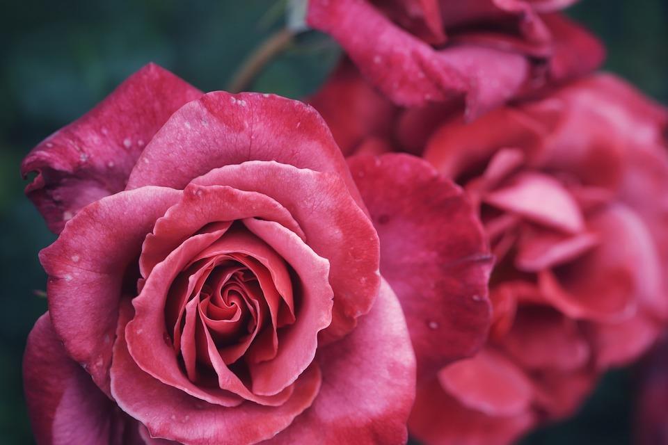Rose, Petal, Flower, Macro, Throat, Nice, Blooming, Red