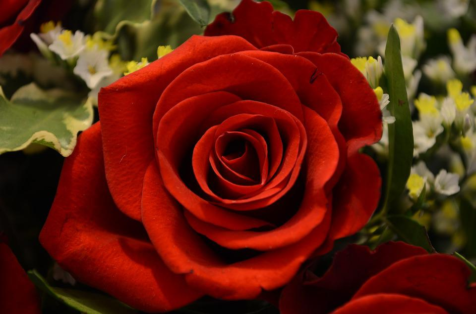 Rose, Valentine's Day, Love, Romance, Red, Red Rose
