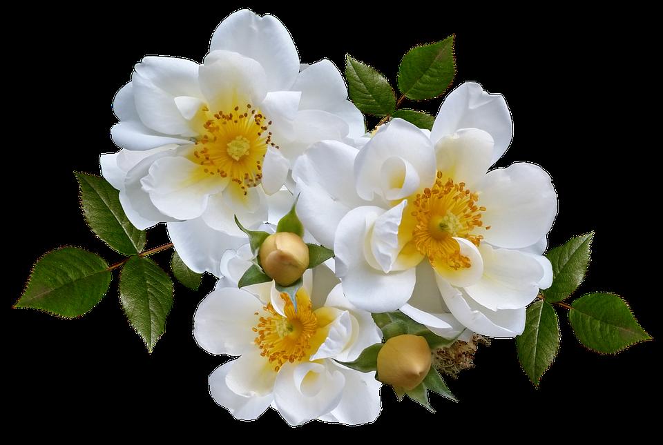 Rose, Flower, White, Arrangement, Romance
