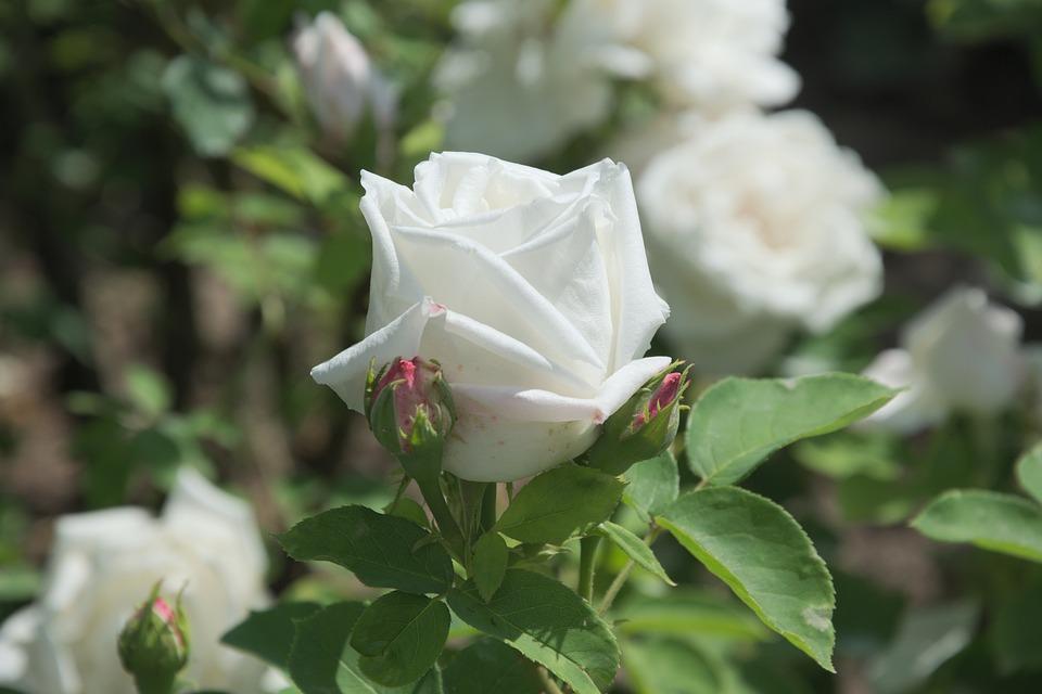 Rose, White, Rose Bloom, Flower