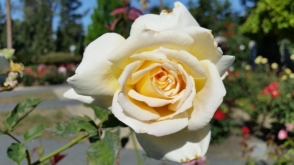 White Rose, Rose, Flower, Nature, White, Blossom, Plant