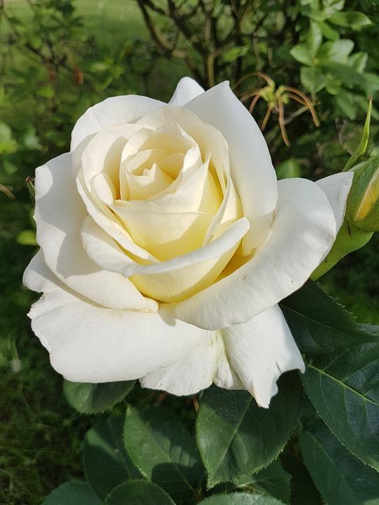 Free photo Rose White Rose Flowers - Max Pixel