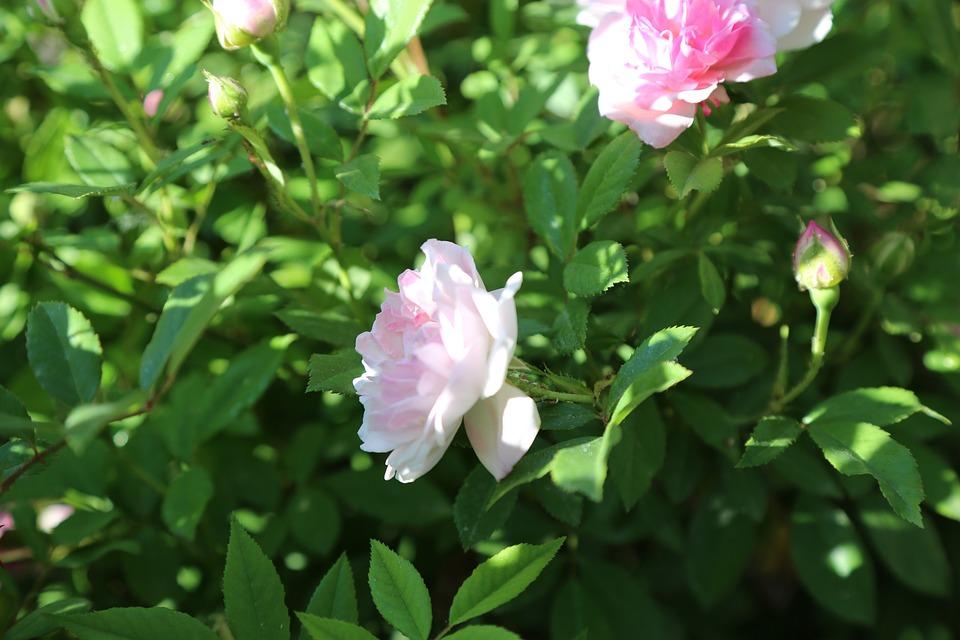 Rose, White Rose, Flower, Plant, Nature, Leaves