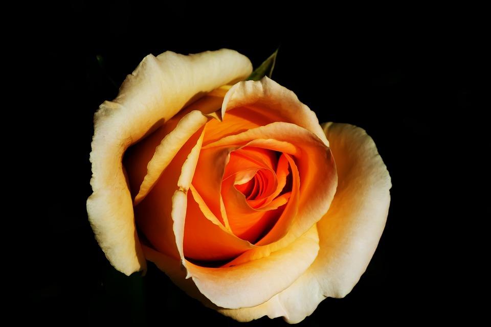 Rose, White, Blossom, Bloom, White Roses, Nature