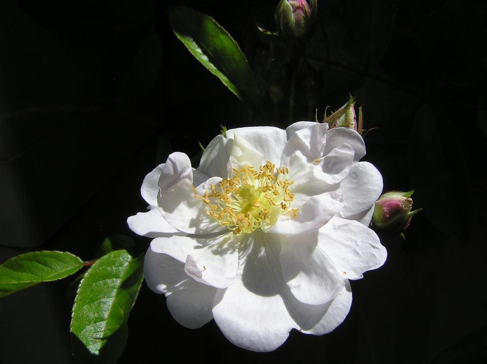 Rose, Single, White