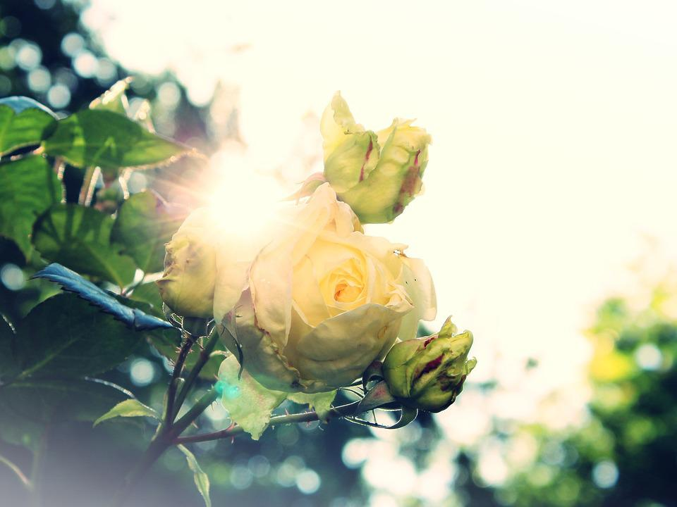 Rose, Wild Rose, White, Sun, Dazzle, Backlighting
